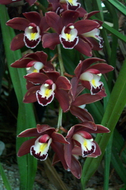 Dark_cymbidiums_3
