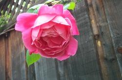 Old_pink_rose
