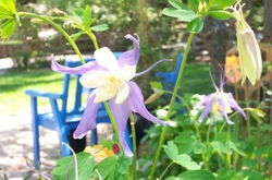 Purple_columbine_wblue_chair