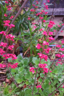 Red_heuchera