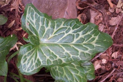Arum_leaf