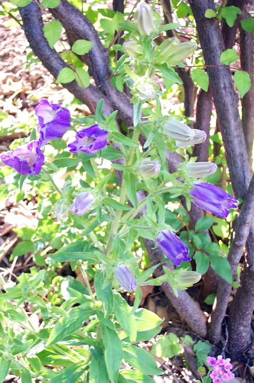 Blue_bell_flower