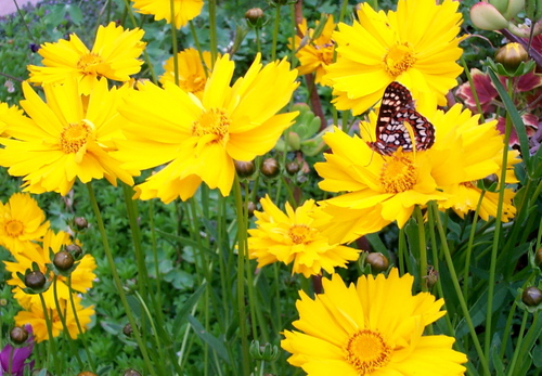 Coreopsis_and_butterfly