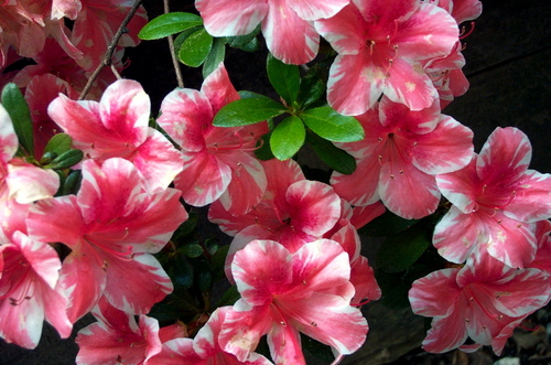 Red_and_white_azalea