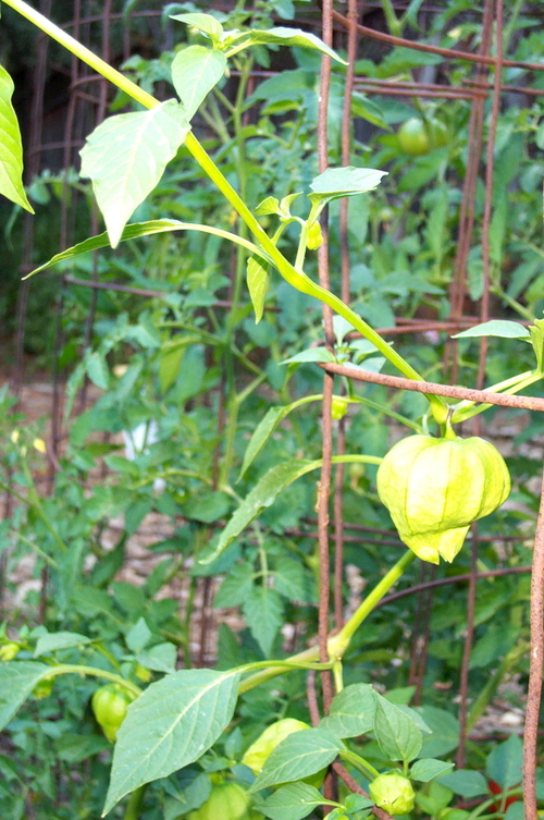 Tomatillo_in_cage