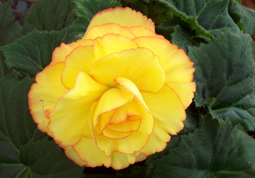 Yellow_begonia