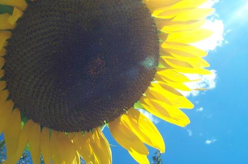 Shasta_sun_flower
