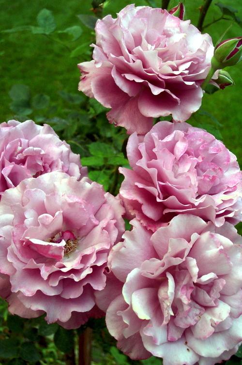 Lavender_tree_roses