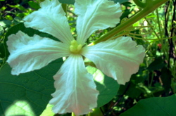 Out_of_focus_gourd_flower